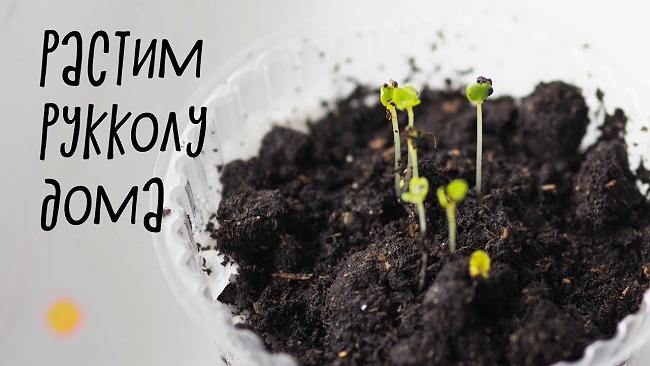 Растим рукколу из семян