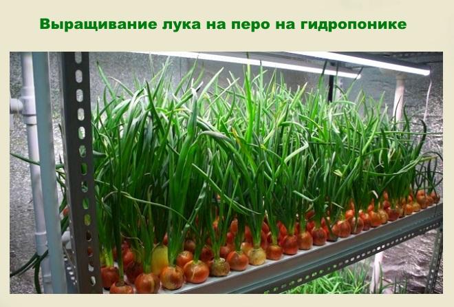 Выращивание лука на гидропонике