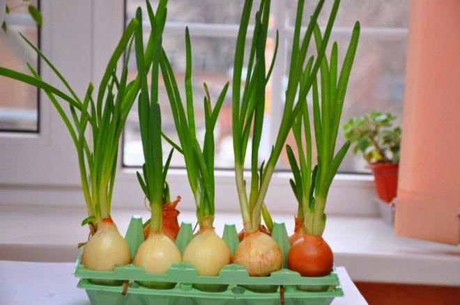 Зеленый лук в лотках от яиц со шпажками