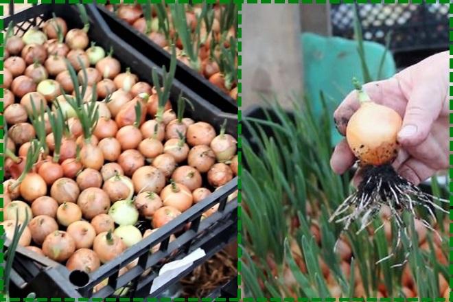 Выращивание лука в пластиковых ящиках