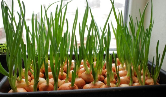Зеленый лук в ящиках