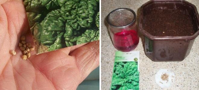 Подготовка семян шпината
