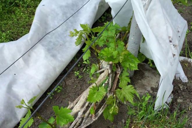 Укрывной материал для винограда