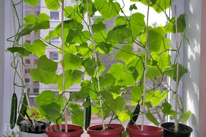 Урожай огурцов с подоконника