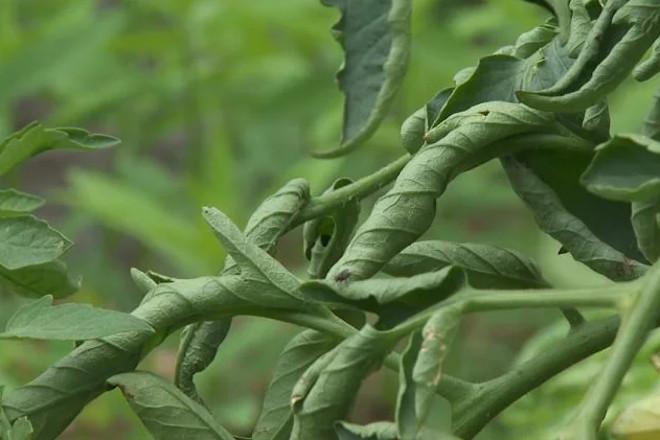 Листья трубочкой у помидор