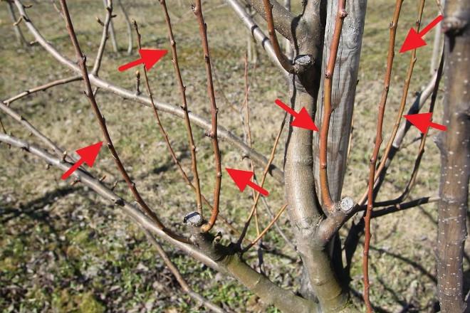 Ветки яблони для обрезки