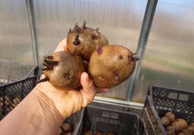 Проращивание картофеля в теплице
