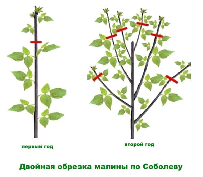 Схема обрезки малины по Соболеву