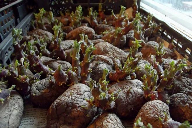 Провяливание картофеля