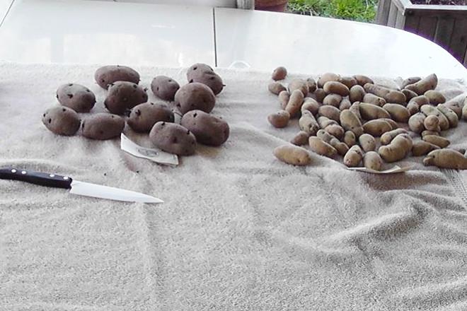 Сортировка клубней перед посадкой