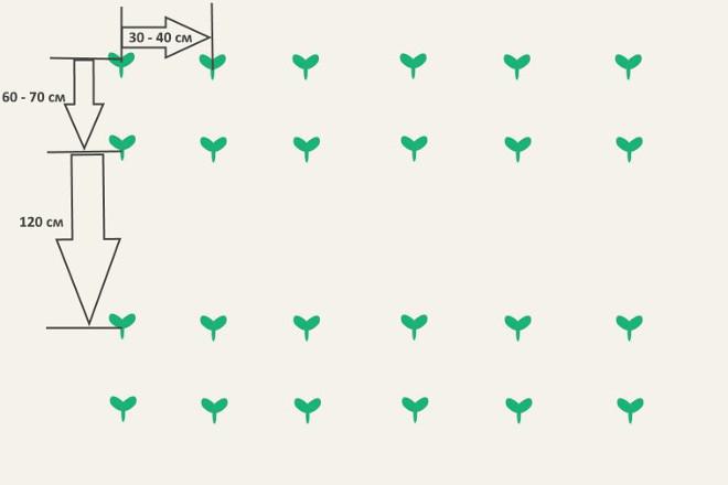Схема посадки кабачков