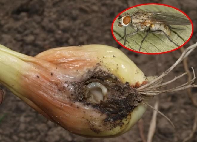Лук пораженный луковой мухой