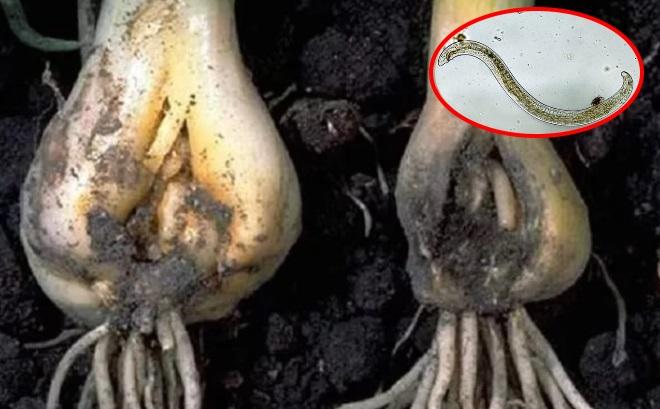 Луковица пораженная нематодой