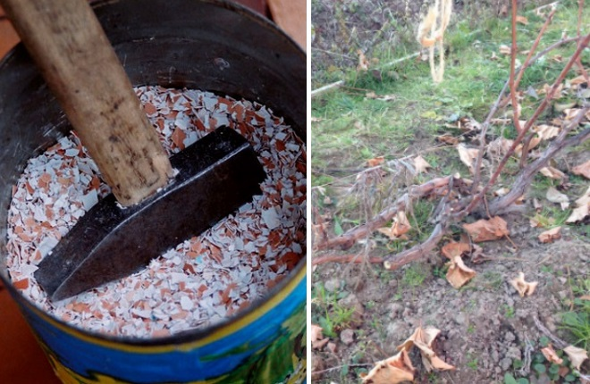 Яичная скорлупа для кустов винограда