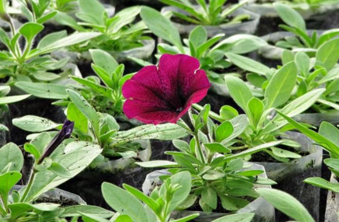 Цветок рассады петунии