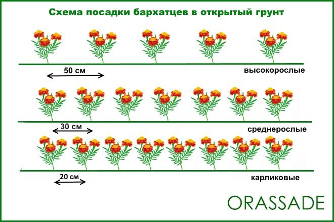 Схема посадки бархатцев