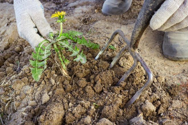 Копка одуванчиков с корнем