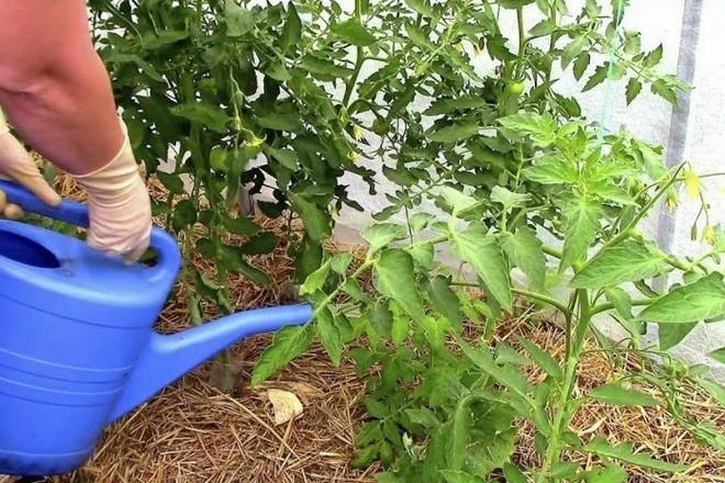 Полив помидор из лейки