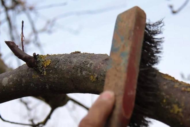 Зачистка яблони от грибка