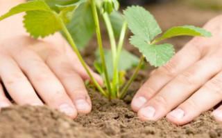 Посадка клубники осенью: как и когда правильно садить в открытый грунт