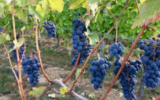 Как обрезать виноград осенью: инструкции для начинающих