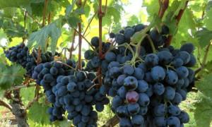 Осенняя посадка винограда саженцами в открытый грунт в средней полосе России