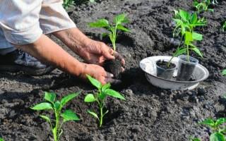 Секреты посадки перца в открытый грунт рассадой