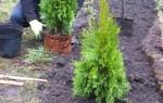 Как посадить тую осенью в открытый грунт: пошаговое руководство