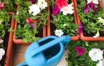 Чем подкормить рассаду петунии для роста в домашних условиях
