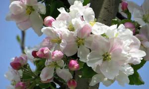 Как привить яблоню весной: 7 способов для начинающих садоводов пошагово