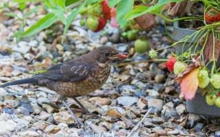 Как защитить клубнику от птиц: 7 способов отпугнуть пернатых