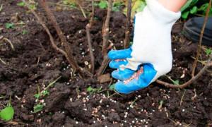 Чем подкормить малину весной для хорошего урожая