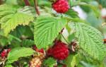 Подкормка малины осенью: сроки, чем и как удобрять для хорошего урожая
