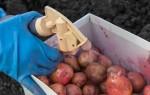 Чем обработать картофель перед посадкой от болезней и вредителей