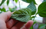 Болезни рассады сладкого перца в картинках: фото листьев, меры борьбы, лечение