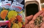 Когда сажать бархатцы на рассаду в 2021 году: сроки, выращивание и уход