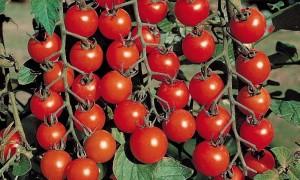 Лучшие сорта томатов: топ самых урожайных помидоров 2019 года