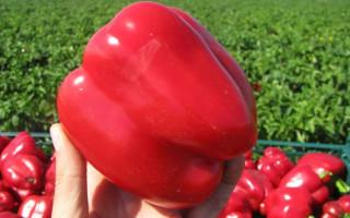 Перец Геракл: описание сорта, особенности выращивания