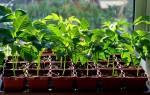 Выращивание и уход за рассадой перцев в домашних условиях