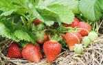 Как ухаживать за клубникой осенью, чтобы был хороший урожай: подготовка к зиме
