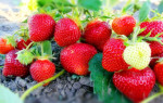 Чем подкормить клубнику осенью в авгусе-сентябре для следующего урожая