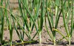 Почему желтеет лук на грядке: народные средства чем полить и подкормить