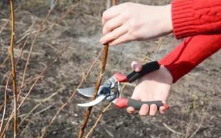 Как правильно обрезать малину весной: инструкция для начинающих