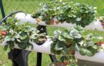 Выращивание клубники в трубах ПВХ: горизонтально и вертикально