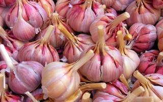 Озимый чеснок Грибовский: характеристика сорта, выращивание, уход