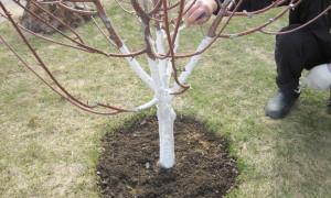 Чем обработать яблоню осенью от болезней и вредителей