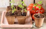 Посадка помидор на рассаду в 2020 году