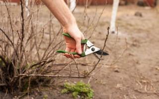 Как обрезать смородину осенью: пошаговая инструкция для начинающих