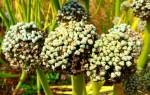 Лук чернушка: когда сажать семена, посадка и уход в открытом грунте