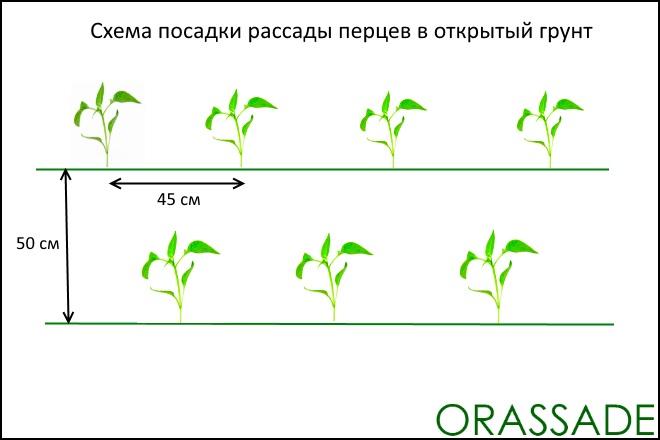 Схема высадки рассады перца в грунт